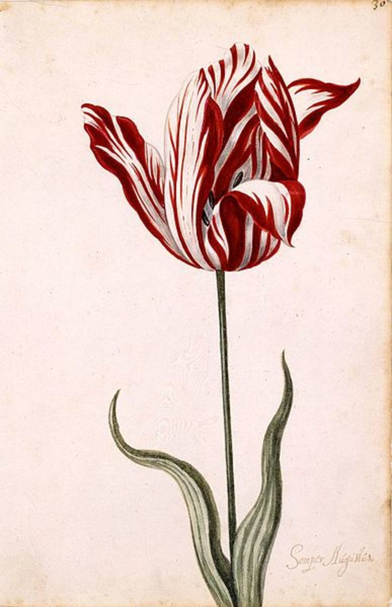 The famous and most coveted Semper Augustus tulip.