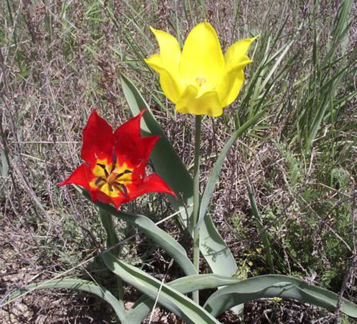 Tulipa gesneriana, one of the parent species of modern tulip cultivars.