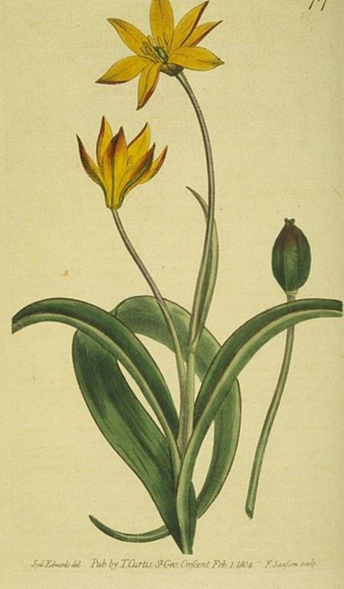 Tulip fruit (capsule)