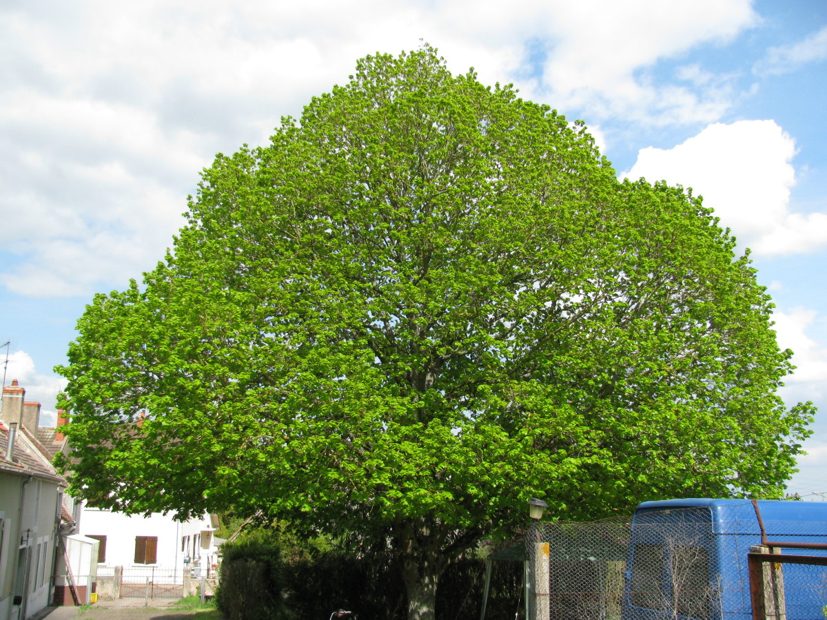 Our Beautiful Lime Tree