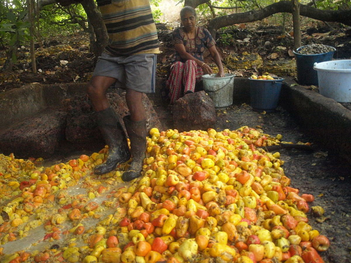 Cashew apples being crushed for the brewing process of Feni