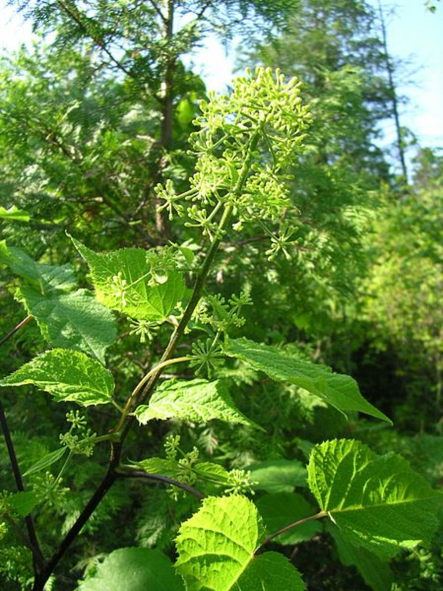 Aralia's large, heart-shaped leaves can reach up to 8 inches in length.