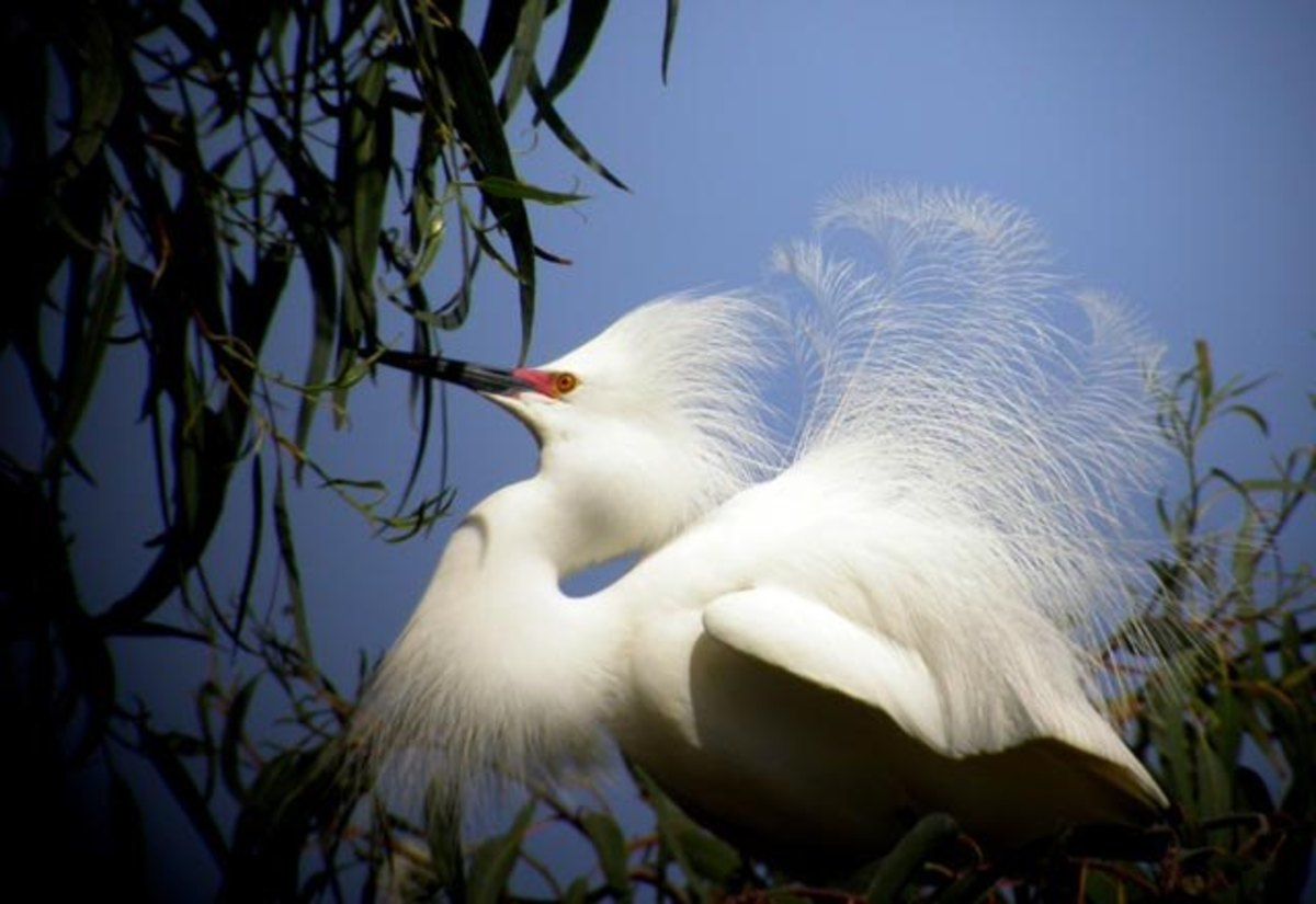 Herons and egrets were killed to obtain the beautiful breeding plumage used in the decoration of hats.