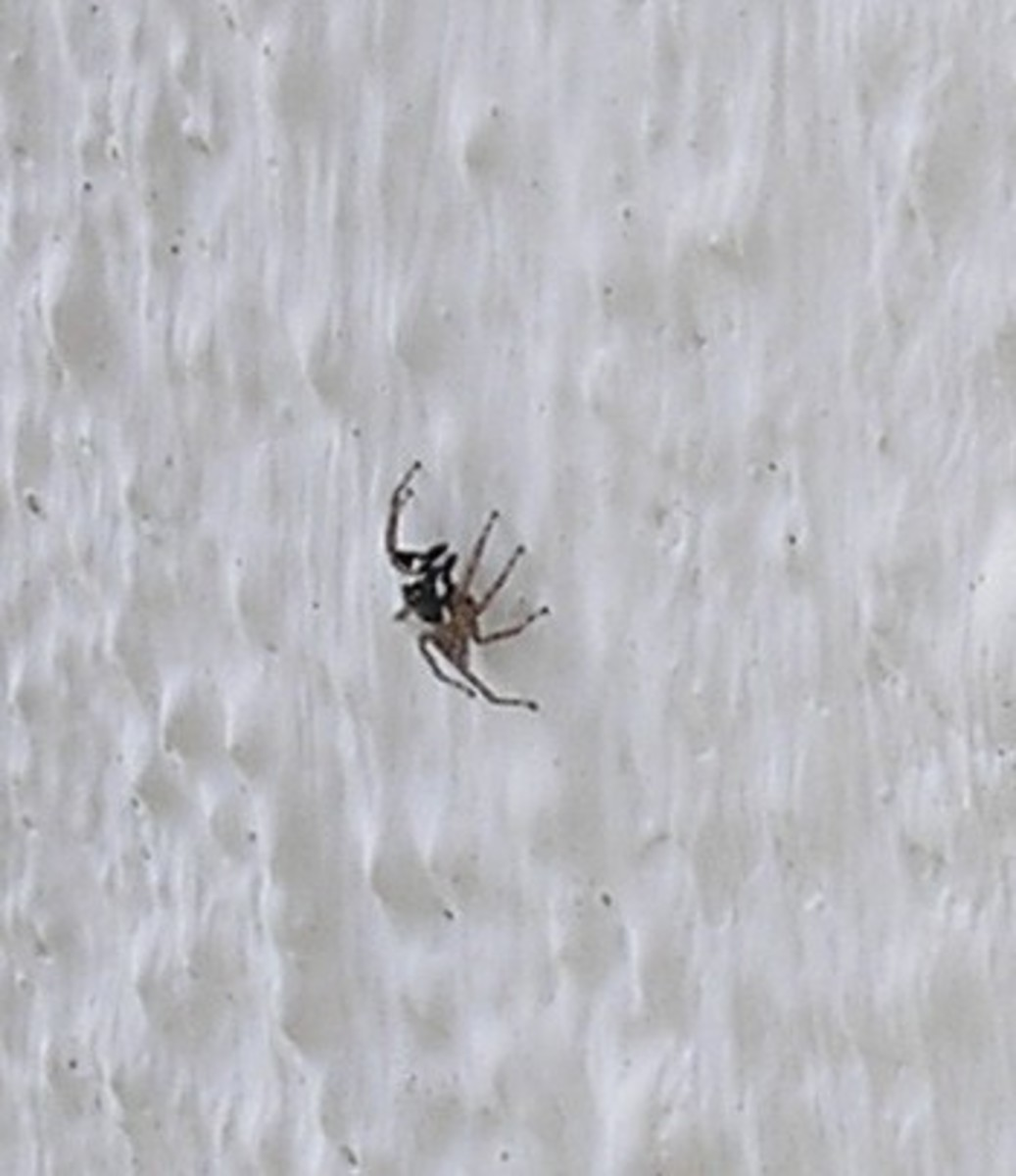 Jumping spider on a wall