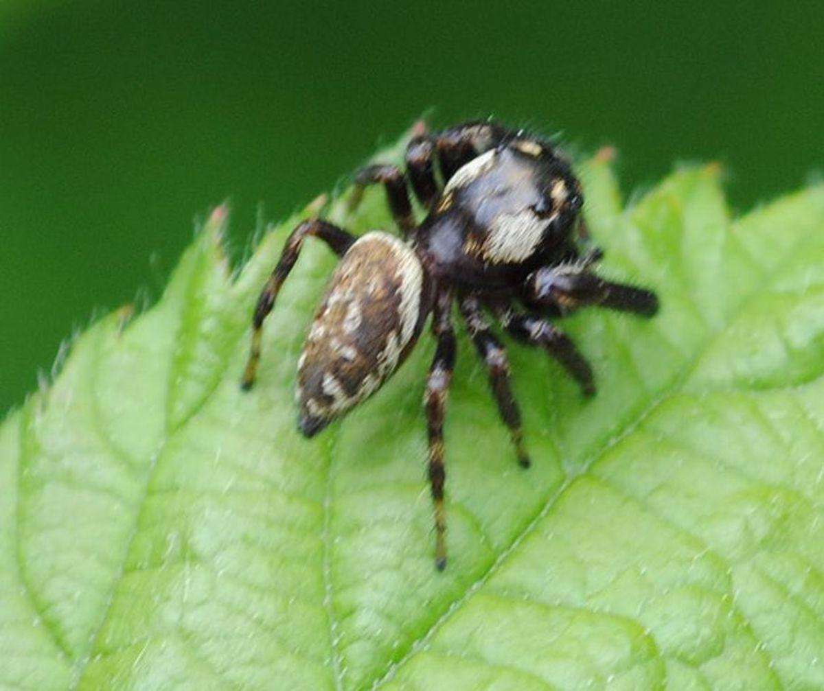 Macaroeris nidicolens male by Dysmorodrepanis