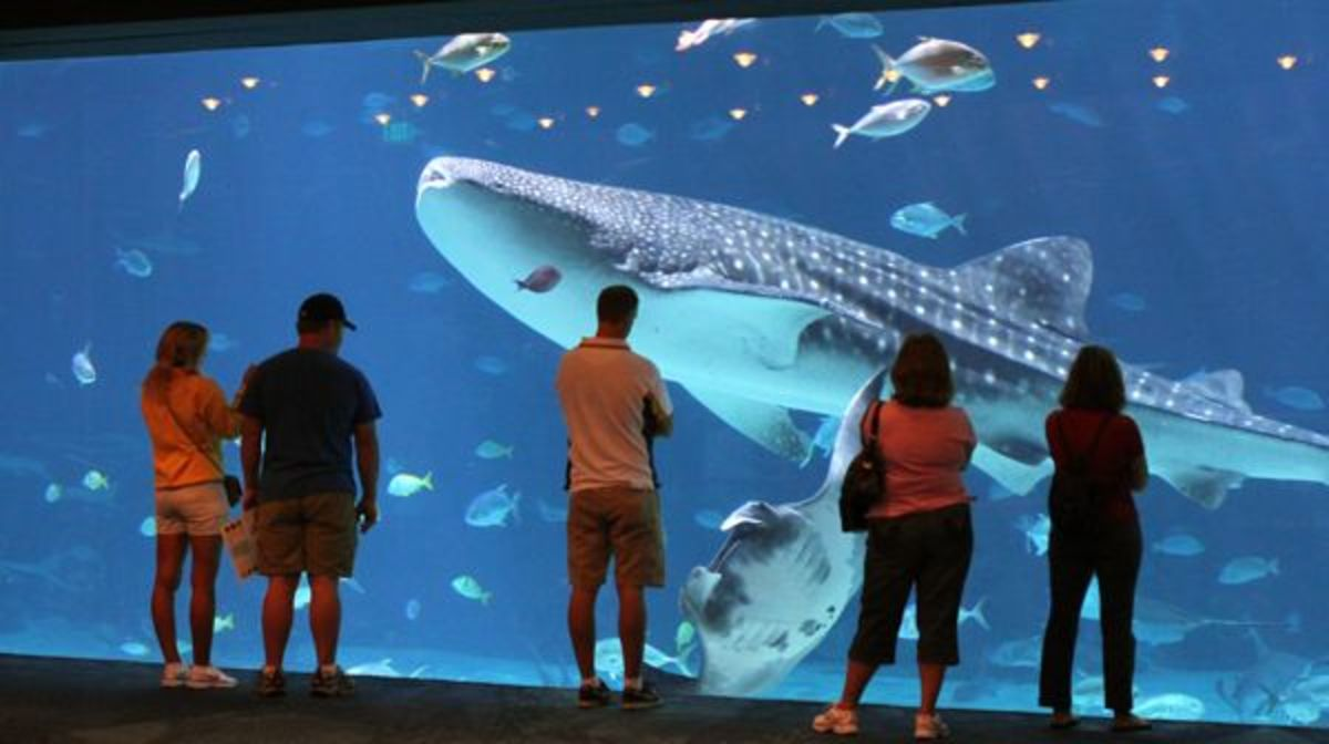 Whale Sharks are the main attraction at Georgia Aquarium
