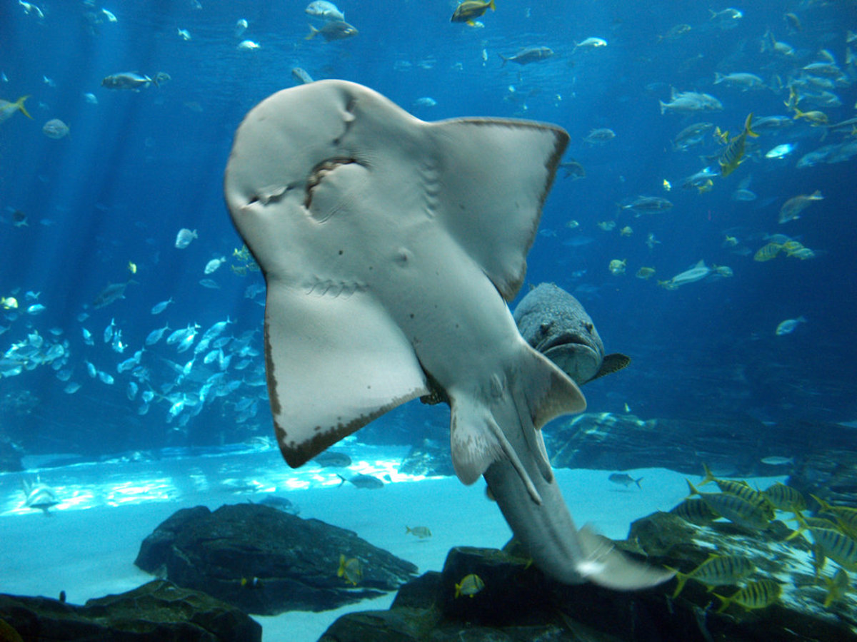 Manta Ray showing his teeth