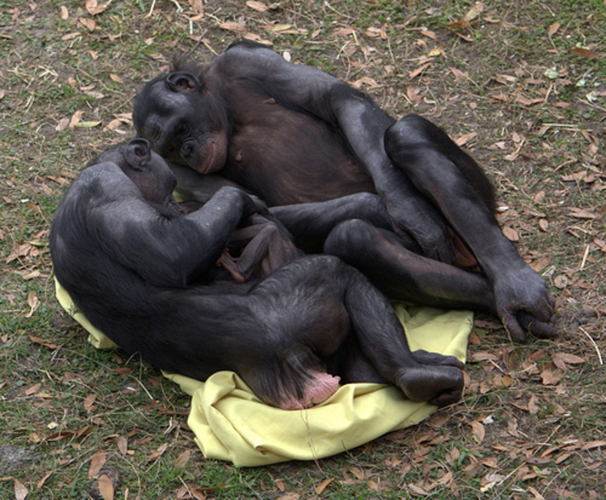 Two bonobos admiring a baby, enlarged clitoris visible.