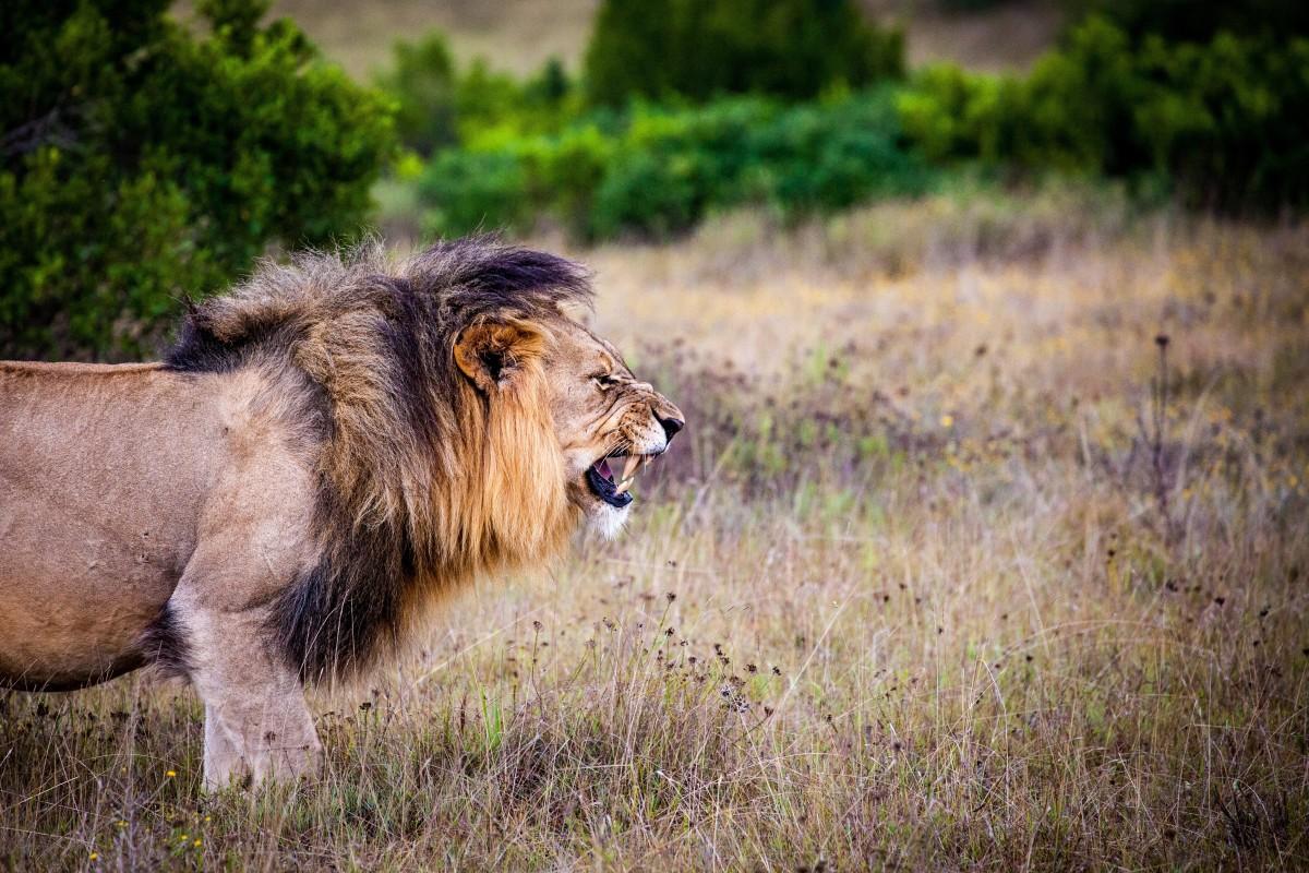 The devil is like a roaring lion, seeking whom he may devour.