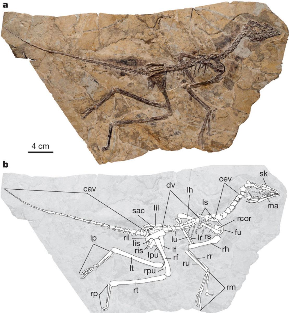 Aurornis original specimen and skeletal diagram.