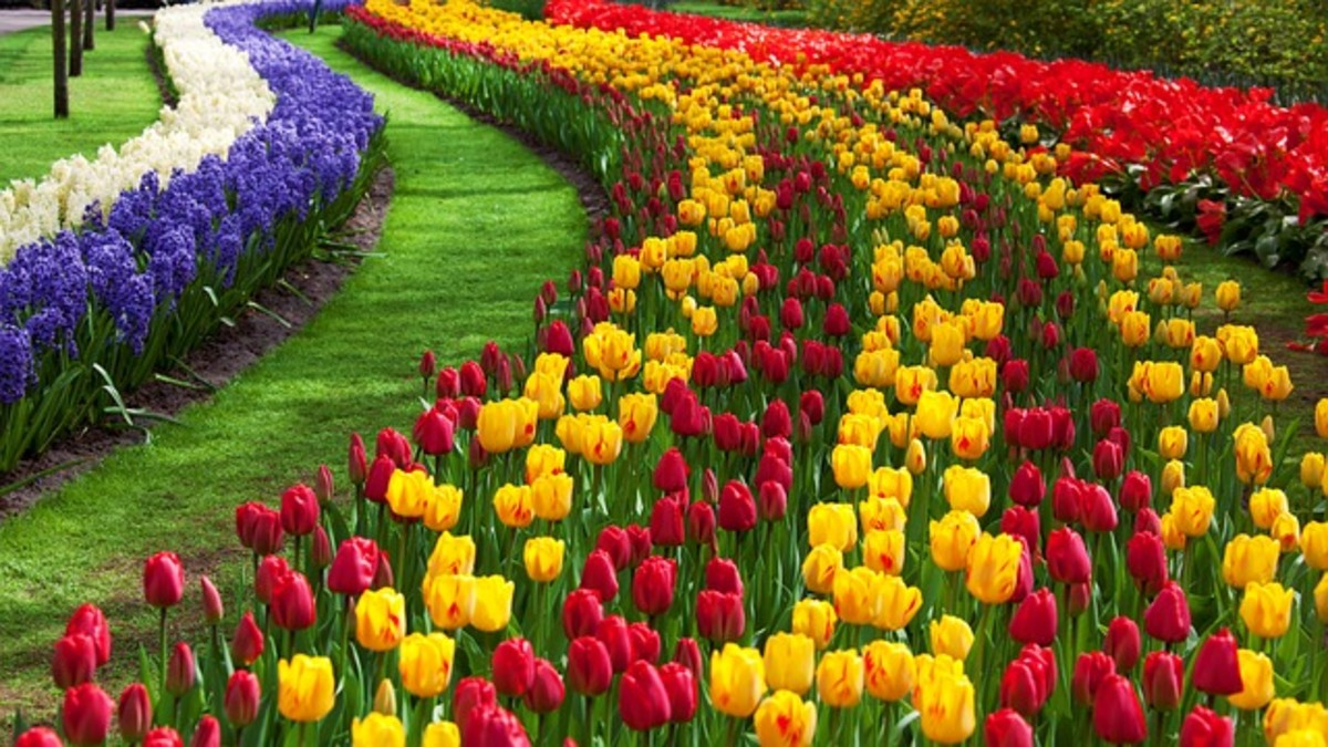 Rows of Tulips and Hyacinths