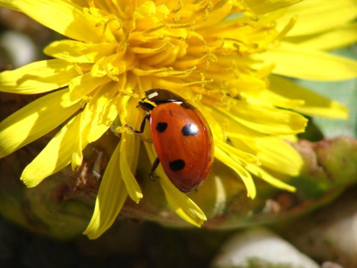 Ladybug on Yellow Shasta Daisy