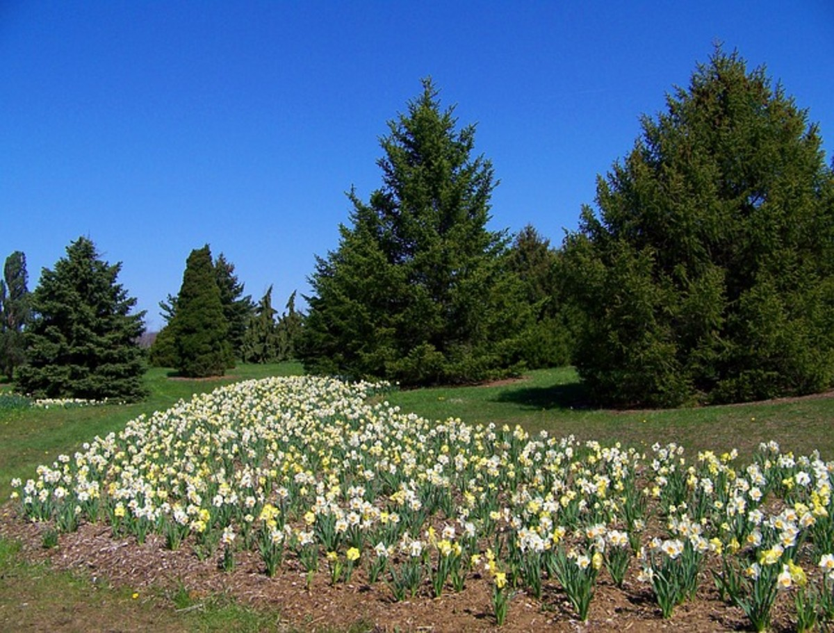 Daffodil Garden among Evergreen Trees