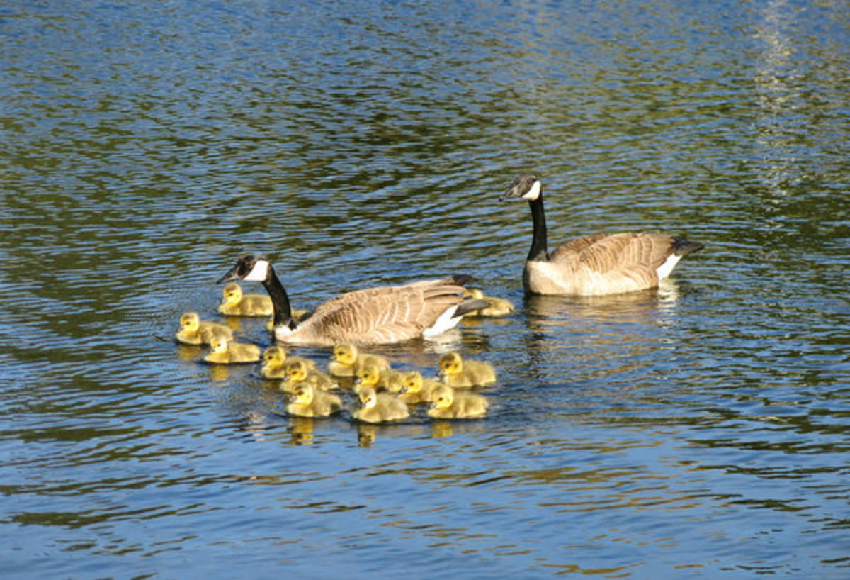 Couple of Geese and Babies on Pond