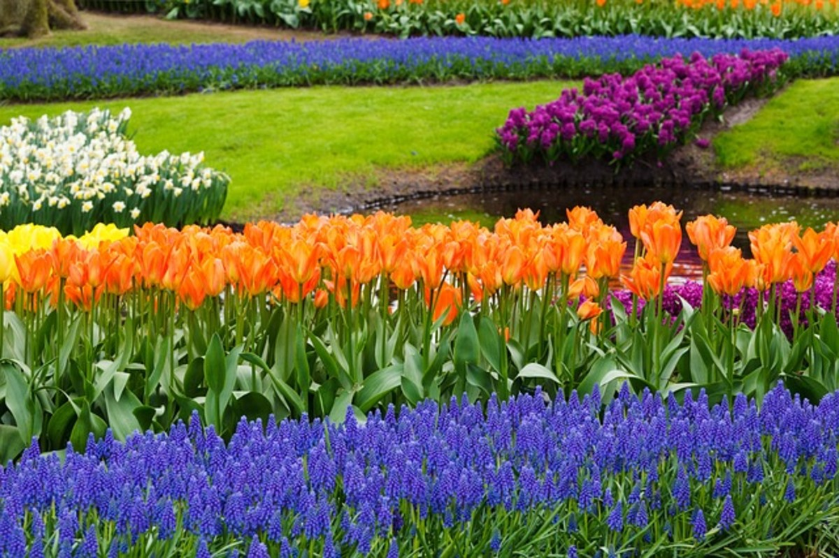 Tulips and Grape Hyacinths by Fish Pond