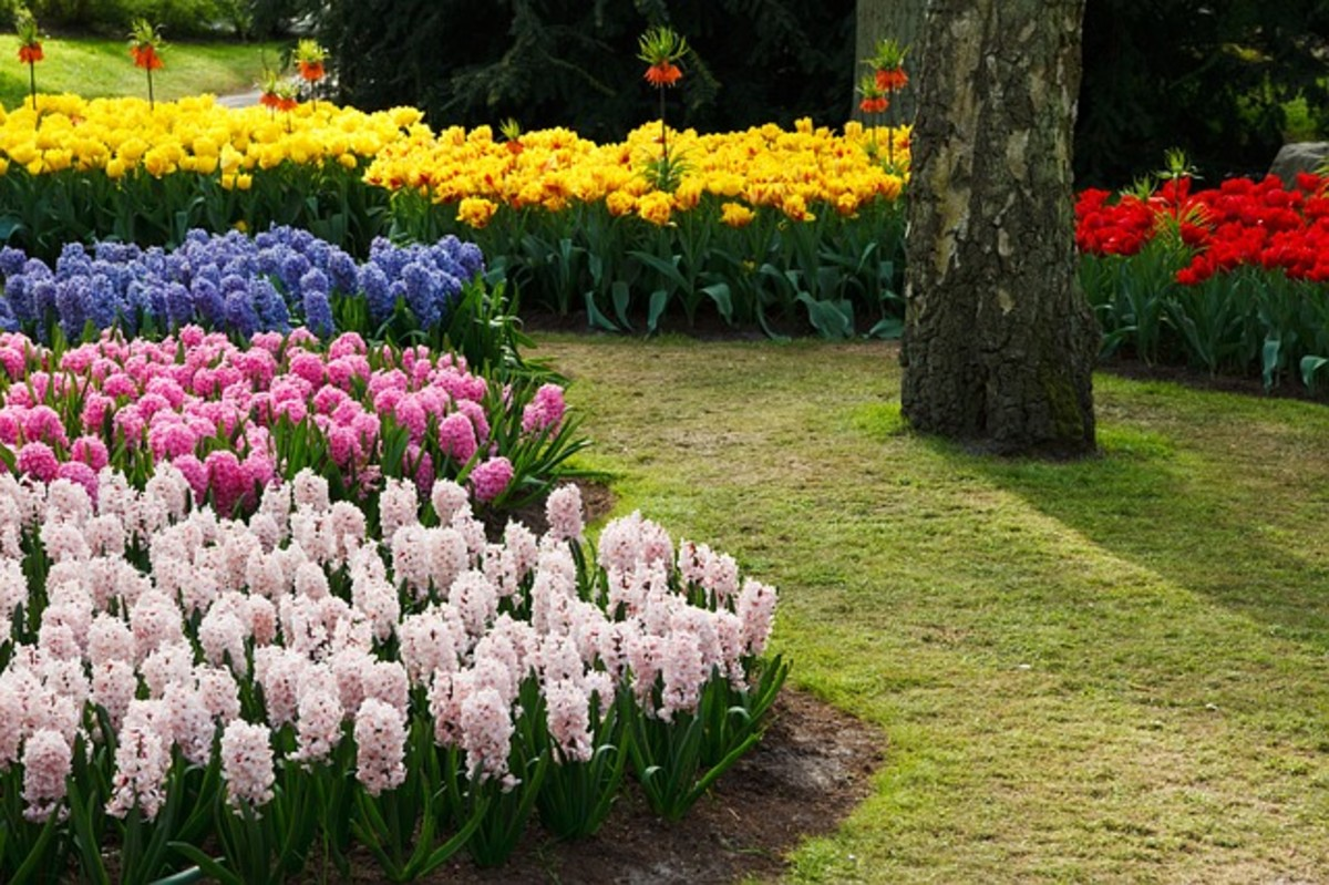 Hyacinths in Shades of Pink and Blue