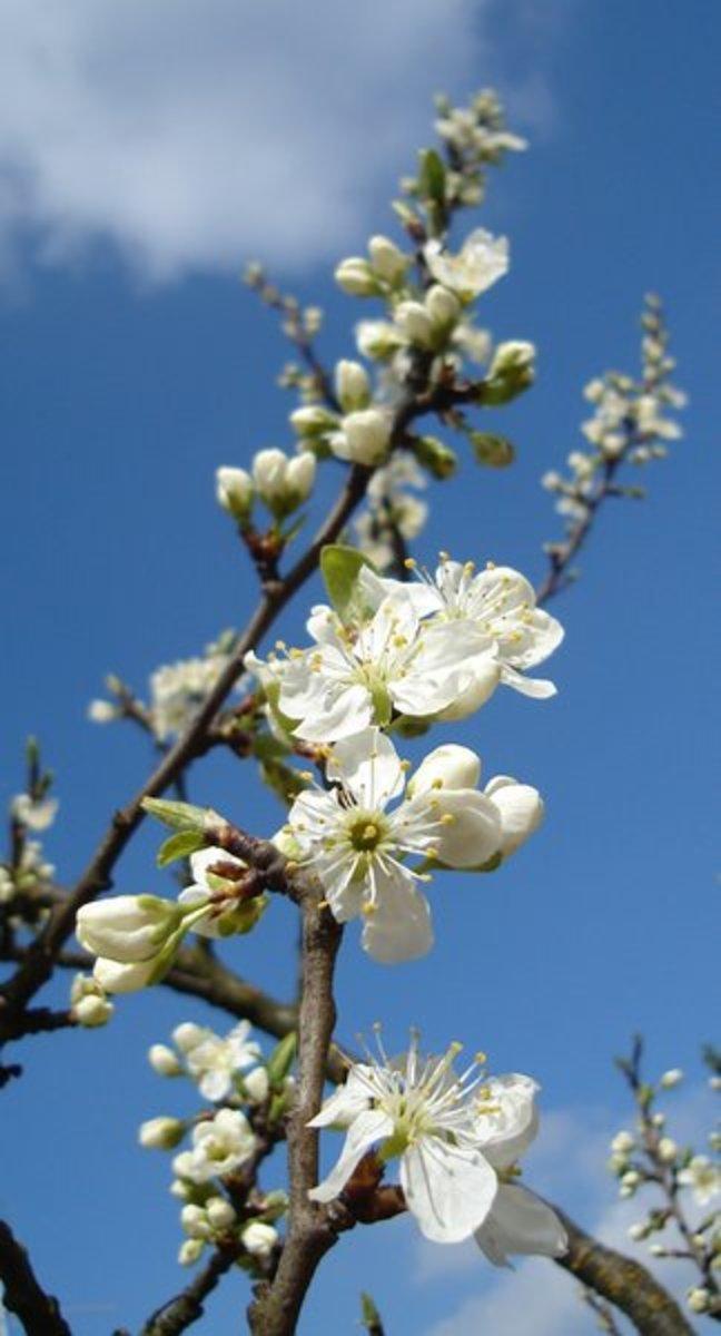 Flowering White Cherry Blossoms