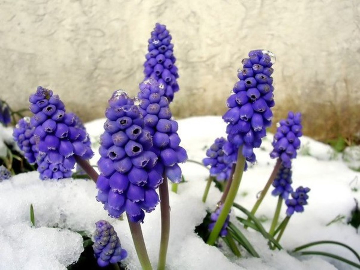Grape Hyacinths Blooming in the Snow