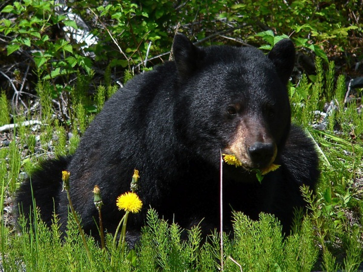 Black Bear Eating Spring Dandelions