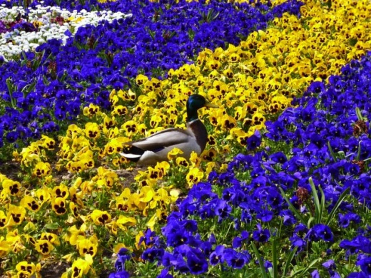 A Duck in Spring Pansies