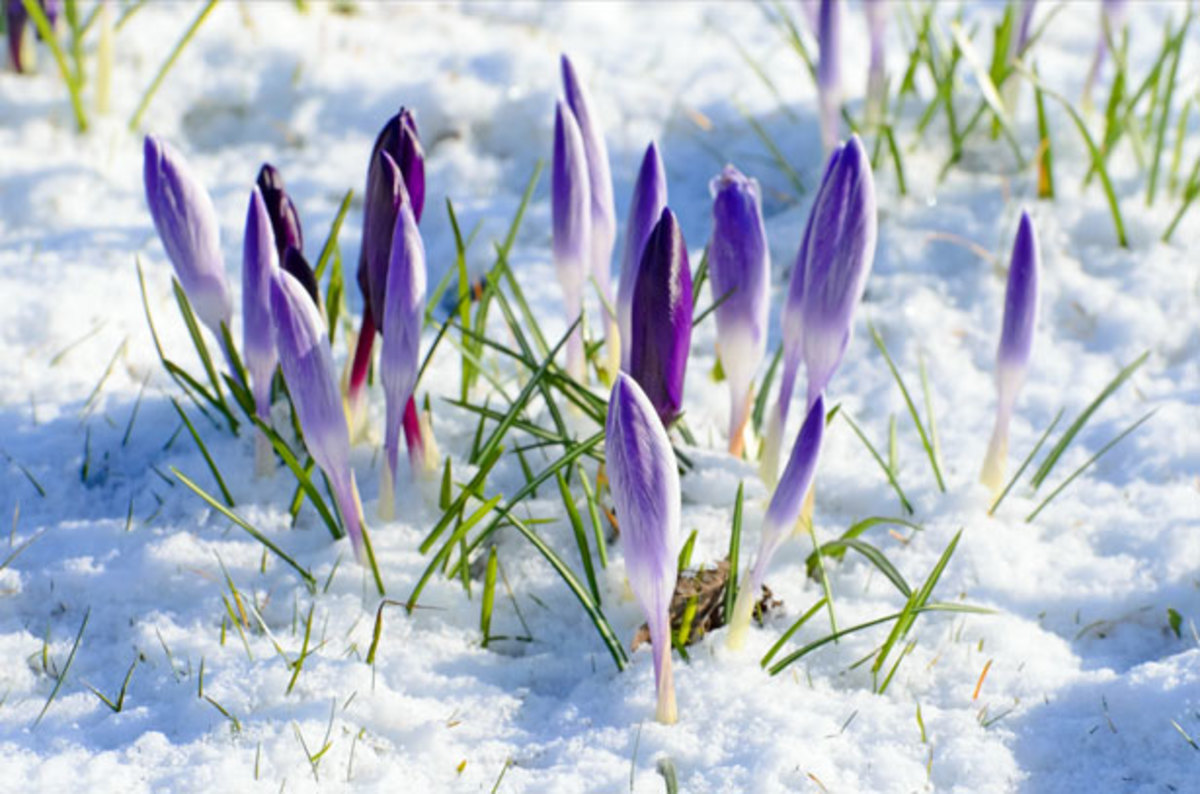 Purple Crocus Rising Through the Snow