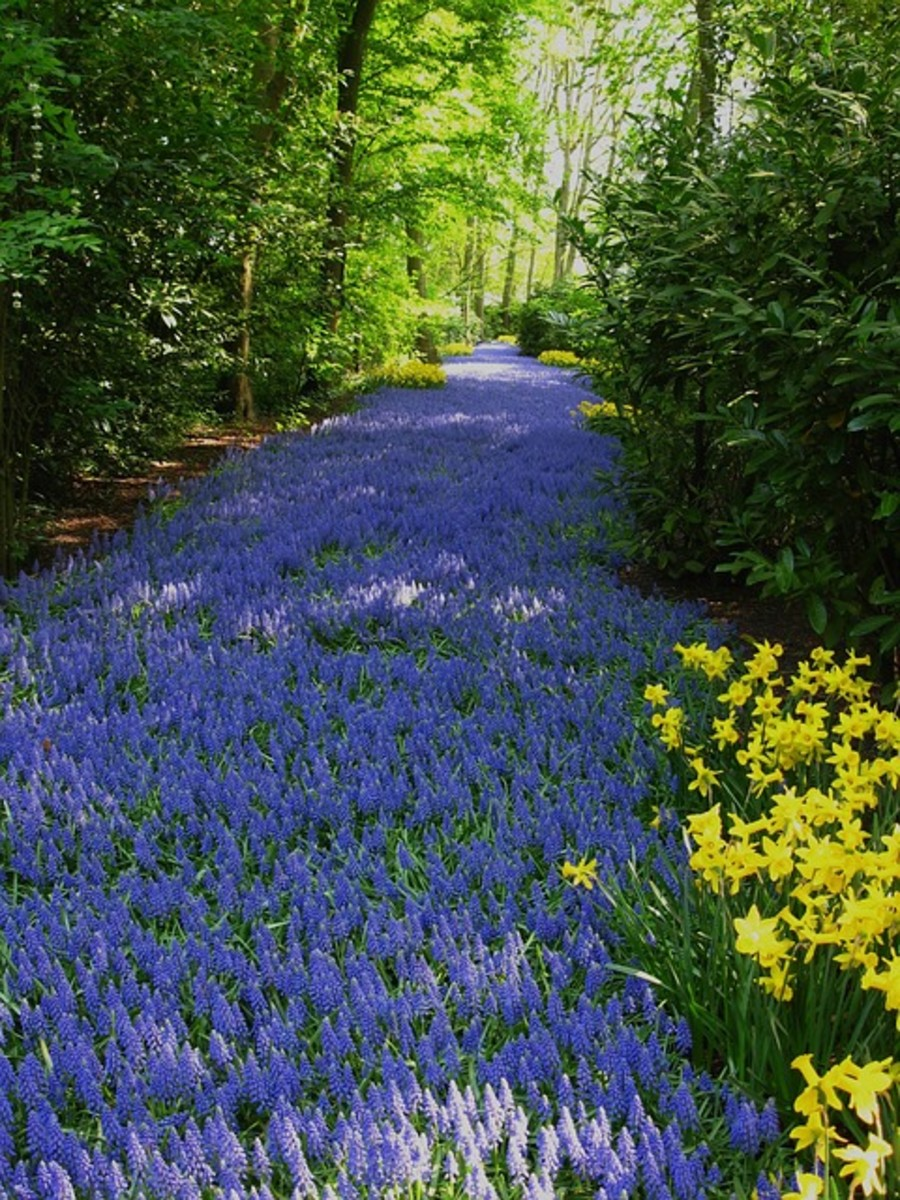 Grape Hyacinths and Daffodils in Park