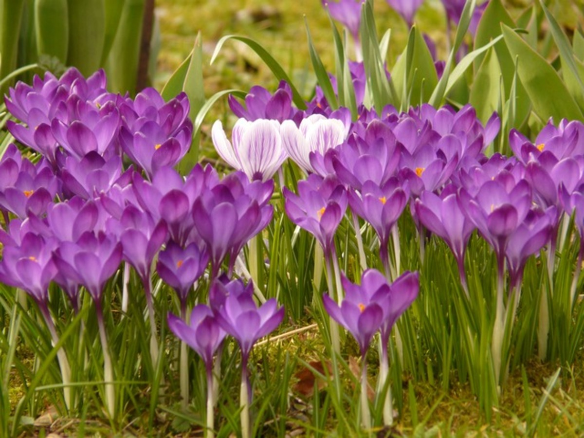Violet Crocus Flowers