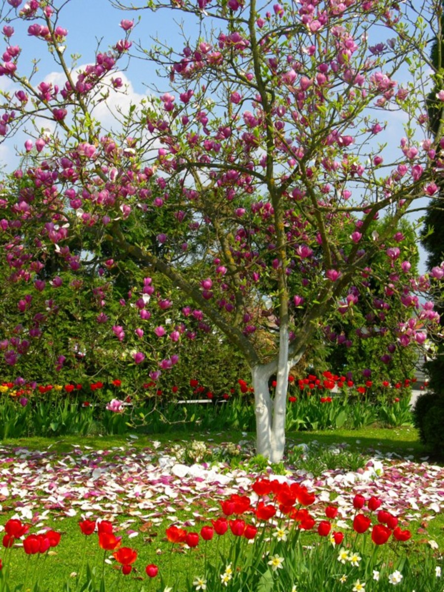 Flowering Cherry Tree, Tulips and Daffodils