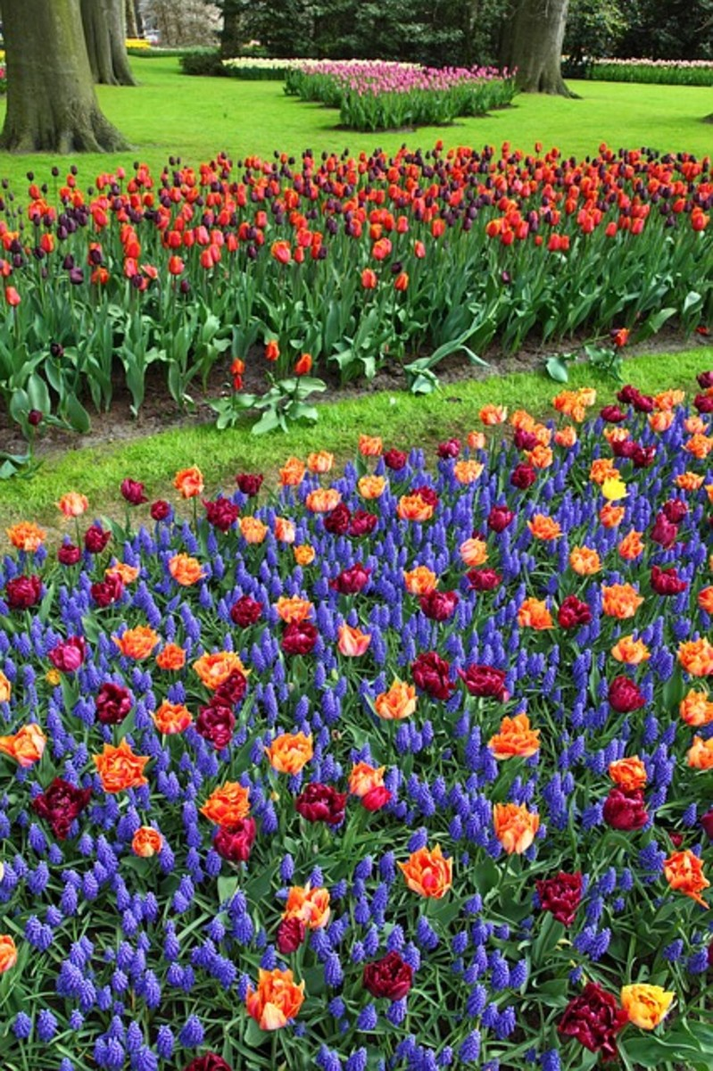 Parrot Tulips and Grape Hyacinths