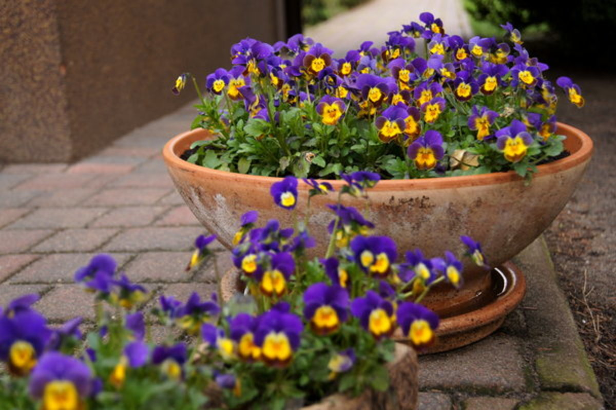 Pansies in Patio Planter