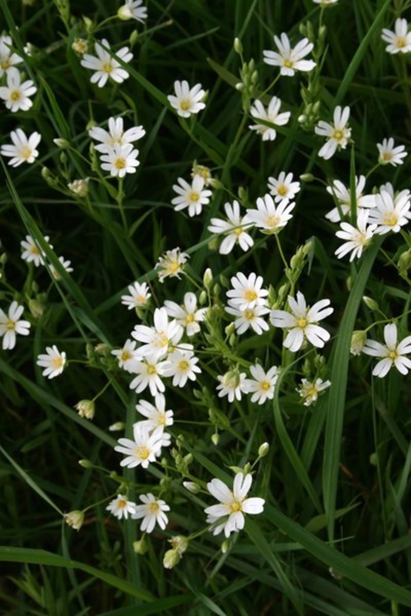 Wild Stitchwort Flowers