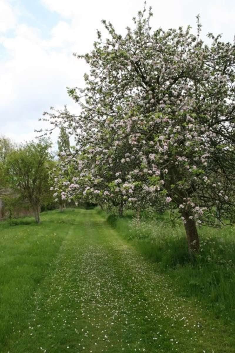 Spring in the Apple Orchard