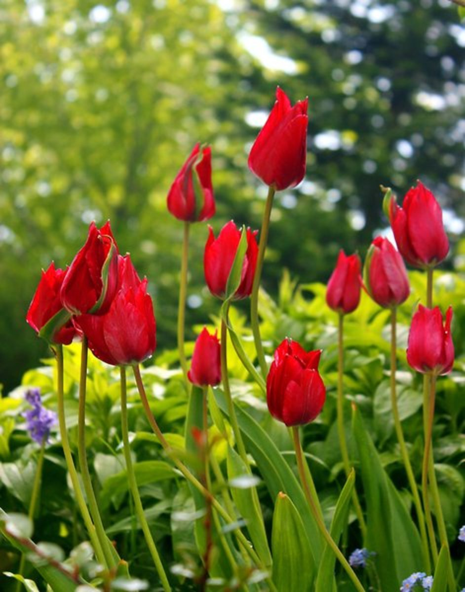 Red Tulips Cluster