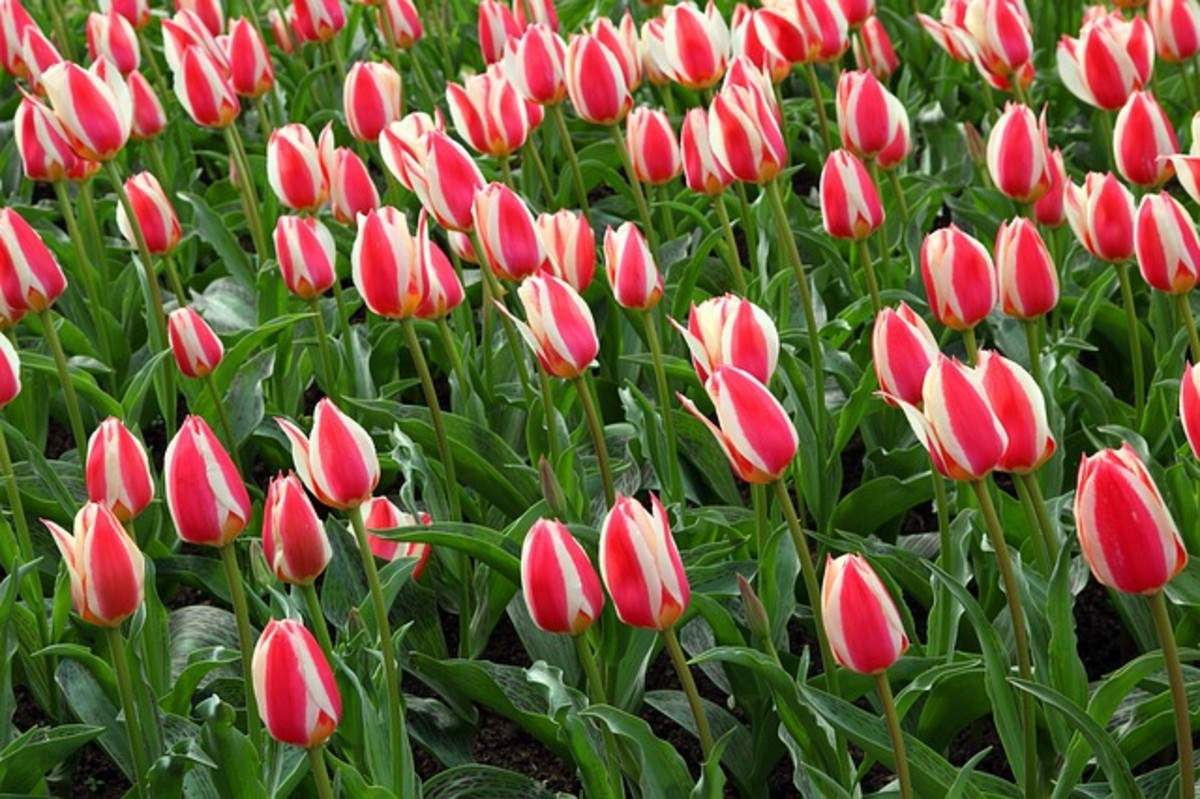 Candy-Stripe Tulips