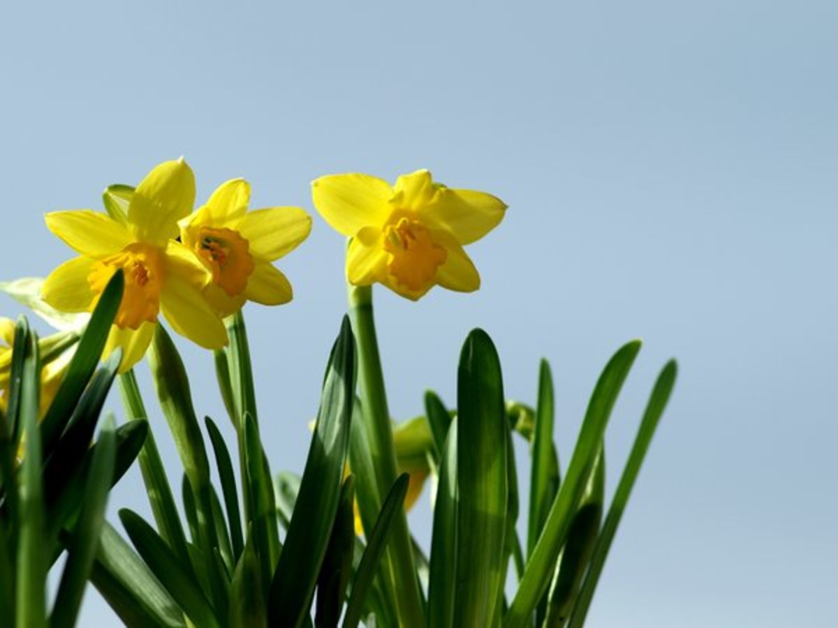 Cluster of Daffodils
