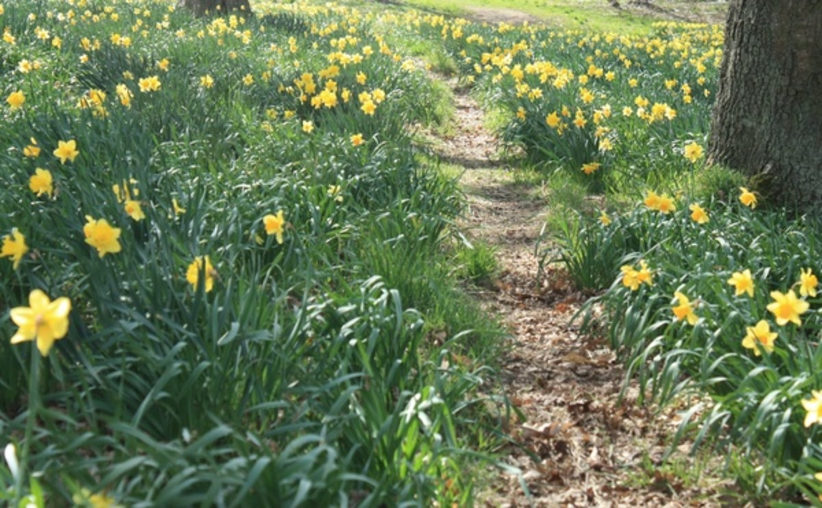 Daffodils on the Path