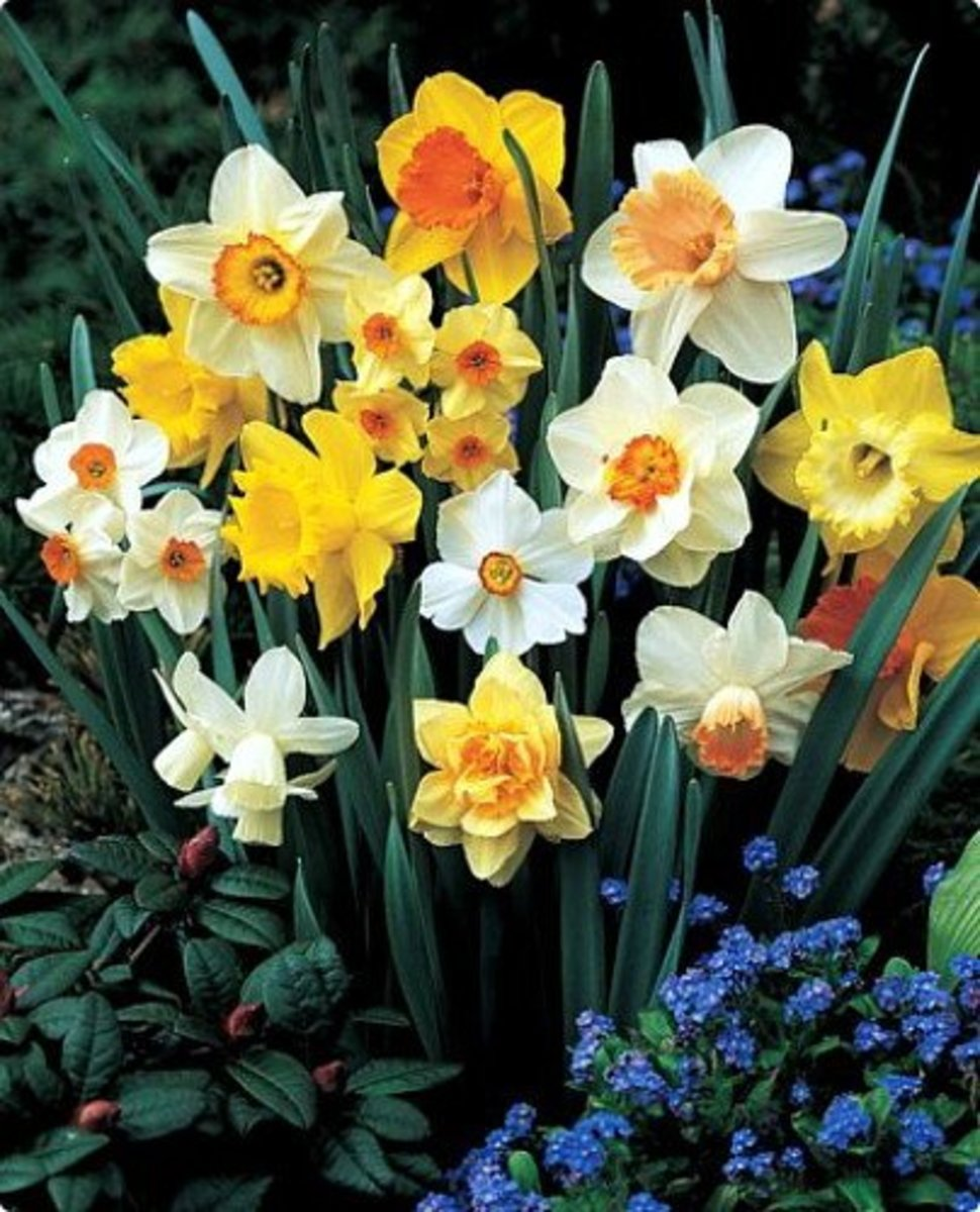 Photo of Daffodils fom Bulb Collection You Can Plant
