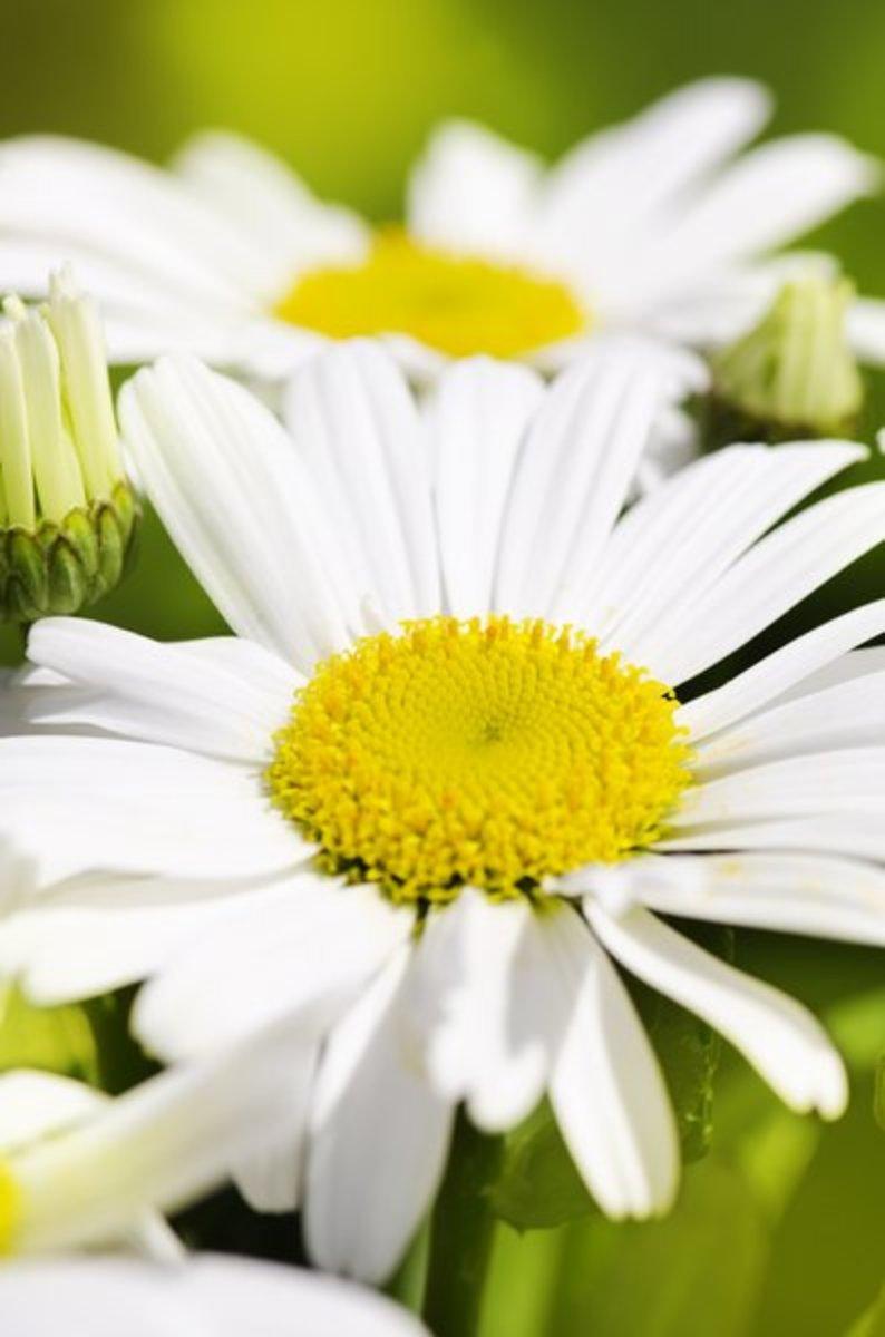 Single Daisy Close-Up