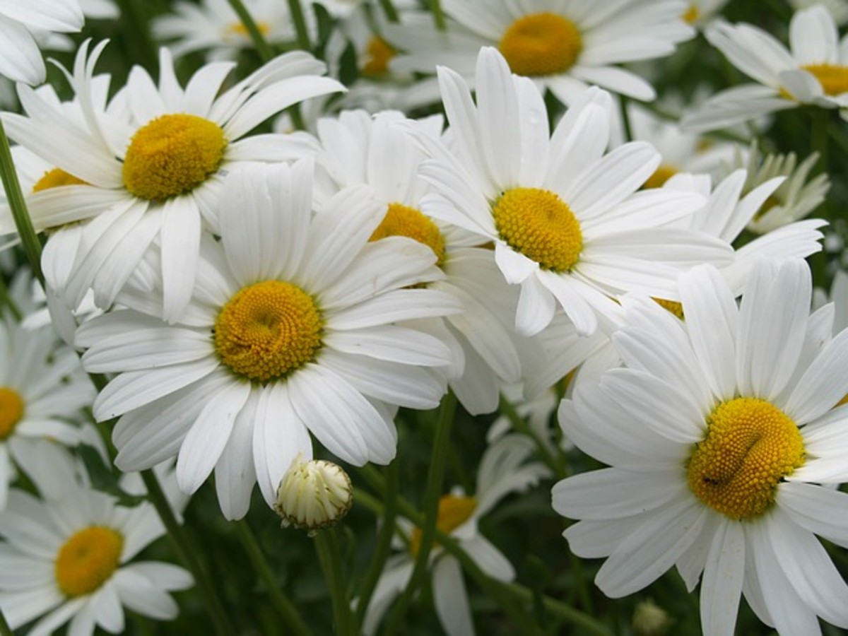 Daisies Close-Up