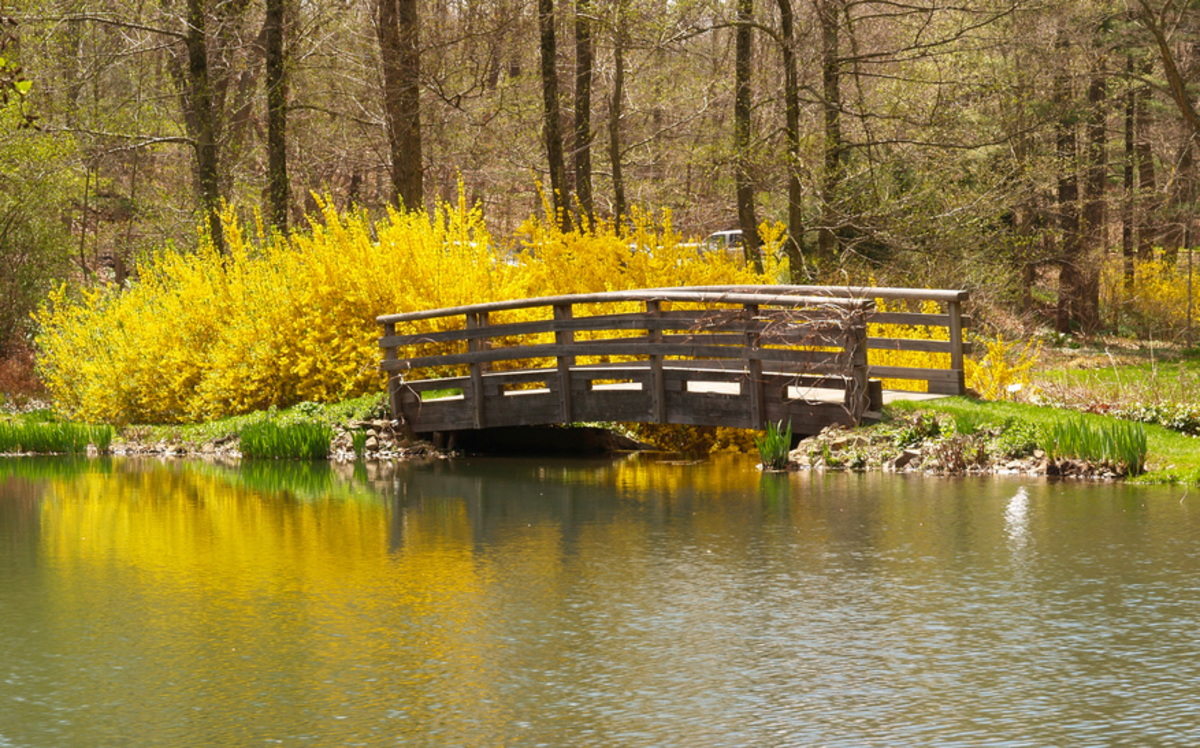 Forsythia Blooming by the Bridge