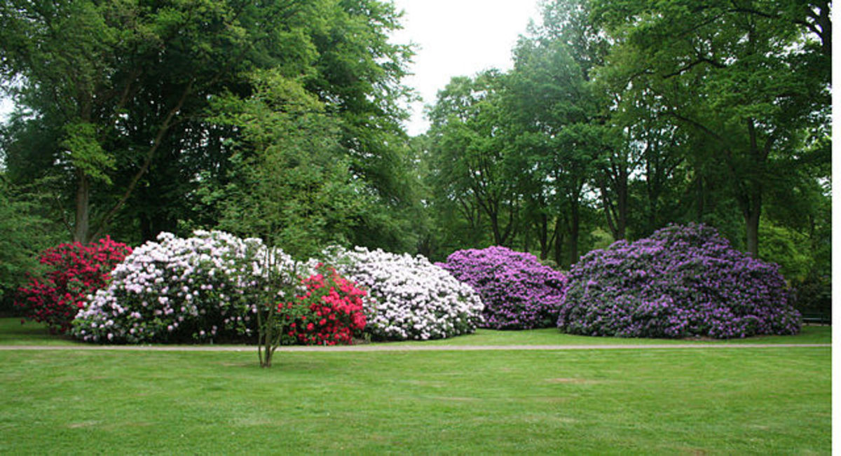 Rhododendron Blooming in the Park