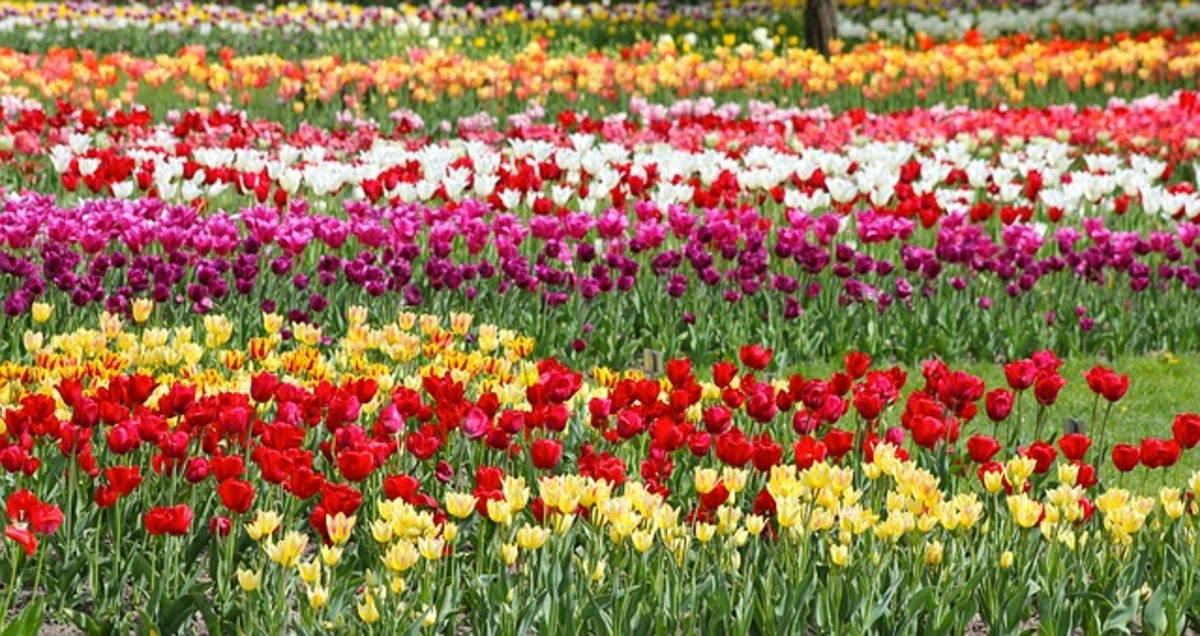Field-Grown Tulips