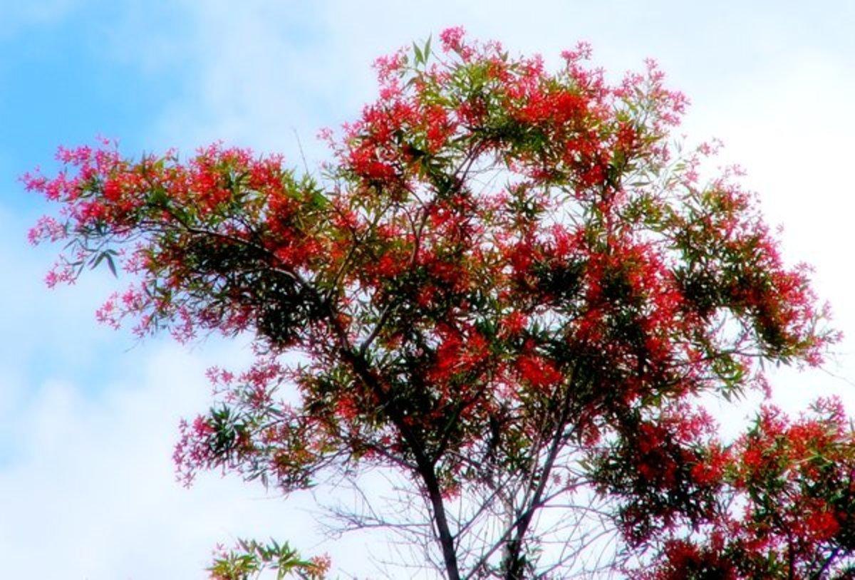 Flowering Coral Tree