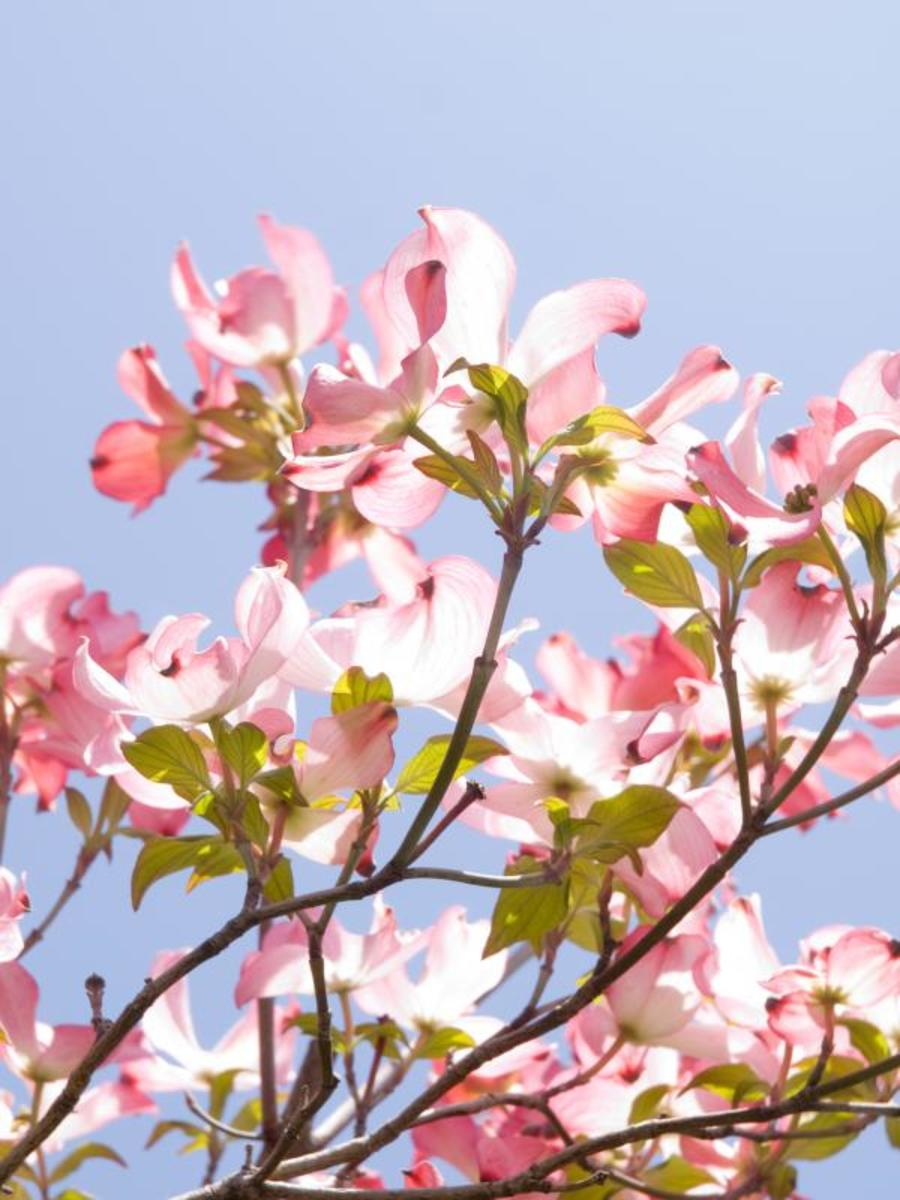 Flowering Dogwood Branch