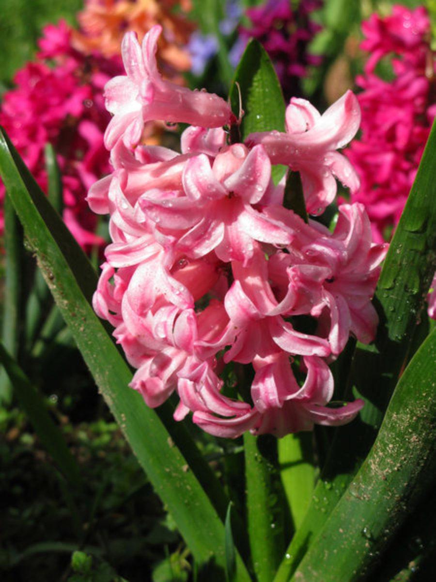 Pink Hyacinth Close-Up