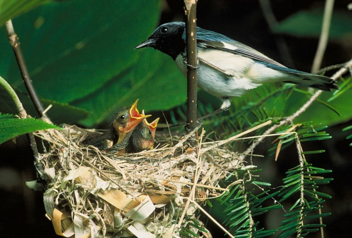 Blue Throated Warbler Mother Bird Feeding Babies