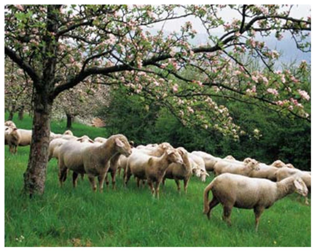 Sheep After Spring Shearing