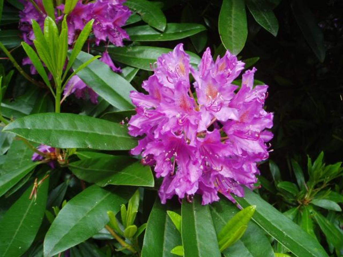 Rhododendron Blossom Close-Up Photo