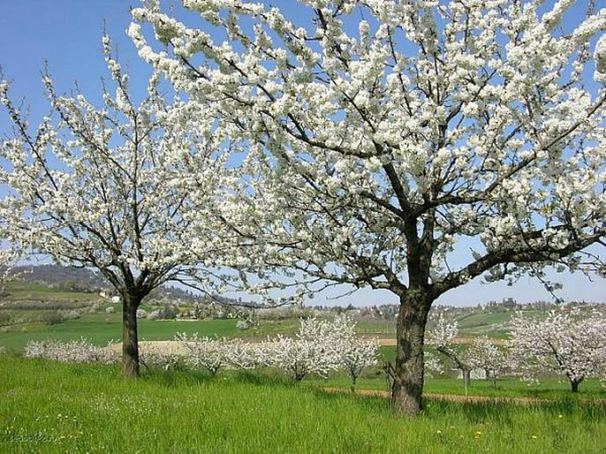 Blooming Orchard