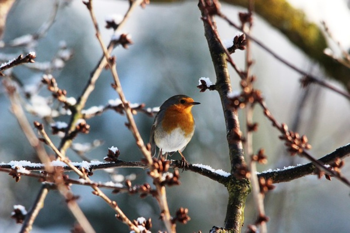 Robin in Budding Tree